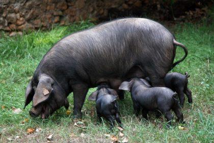porc-negre